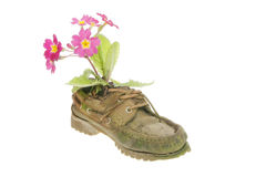Primula in an old shoe. Red primula flowers planted in an old shoe royalty free stock images