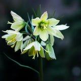 Primula på en mörk bakgrund dagblomman rymmer den små fjädern för sonen för moderparklukter som Daylilies arkivbild