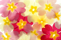 Primula petals Stock Image