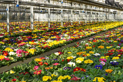 Primula plantation at a floriculture farm Royalty Free Stock Image