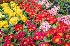 Primula plants flowering  in close-up. Royalty Free Stock Image