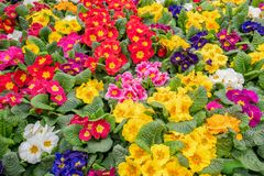 Primula plants flowering  in close-up. Stock Photos