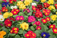 Primula plants flowering  in close-up. Stock Image