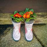 Primula plants in a pair of boots royalty free stock image