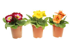Primula plants in pots Stock Photography