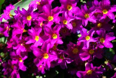 Primula porpora nel giardino Immagine Stock