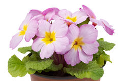 Primula in POT di fiore Fotografia Stock