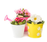 Primula in pot isolated Stock Images