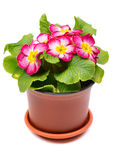 Primula in pot Royalty Free Stock Images