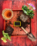 Primula potting with flower pot, scoop,soil and sign on red wooden background Royalty Free Stock Photos