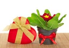 Primula, prezenta serce na bambusowym płótnie pudełko Fotografia Royalty Free