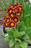 Primula, primrose Stock Photo