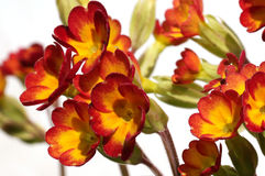 Primula or primrose Stock Images