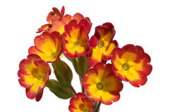 Primula or primrose Stock Photo