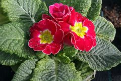 Free Primula. Primrose. Spring Flower Primula With Green Leafs  On White Background. View From Above Of Floral Pattern. Ornamen Royalty Free Stock Image - 106836646