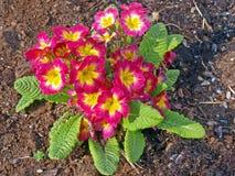 Primula (primula cultivar) Stock Images