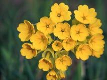 Primula (Primula veris) zakończenie zdjęcie stock
