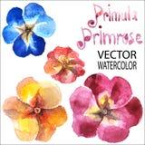 Primula, promrose Stock Image