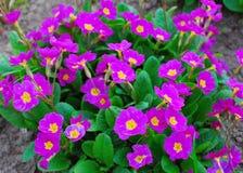 Primula purpur wiosna Fotografia Stock