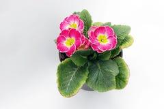 primula Różowy primula kwitnie z wodnymi kroplami w świetle słonecznym Pierwiosnkowy kwiecisty wzór obrazy royalty free