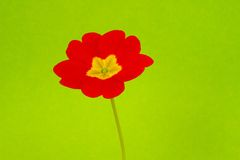 Primula rojo de la flor Imagen de archivo libre de regalías