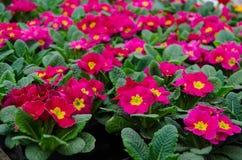 Primula rosa nel giardino Fotografia Stock Libera da Diritti