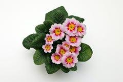 Primula rosado Imagen de archivo