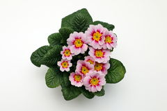 Primula rose Image stock