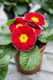 Primula rossa nel vaso di fiore Fotografia Stock