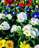 Primula's - Sleutelbloemen royalty-vrije stock afbeeldingen