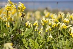Primula sauvage Photo stock