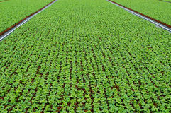 Primula seedlings. Growing in an agricultural company Stock Photography