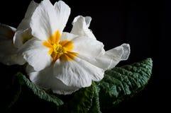 Primula, of sleutelbloembloei met waterdalingen, macro royalty-vrije stock foto
