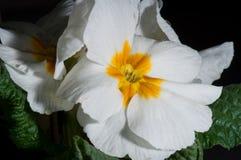 Primula, of sleutelbloembloei met waterdalingen, macro stock foto
