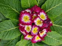 Primula, with small purple flowers in the center of the green leaves. Nature and botany, decorative plant for gardens, natural flower with petals and colors Stock Images