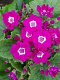 Primula, with small purple flowers in the center of the green leaves. Nature and botany, decorative plant for gardens, natural flower with petals and colors Stock Image