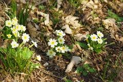 Primula som är vulgaris, primulaacaulis, eller i denek skogen arkivfoto