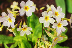 Primula in the spring Stock Images