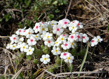 Primula in spring Stock Images