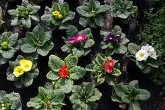 Primula. Spring flower red, yellow, pink, purple, violet and blue Primula with green leafs and water drops. View from above of flo. Ral pattern. Ornamental Stock Photography