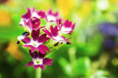 Primula Stock Photos