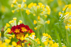 Primula vera in spring Stock Images