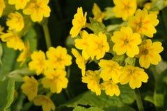 Free Primula Veris Stock Image - 31207941