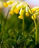Primula veris. Common in the fields and lawns of Scandinavia royalty free stock image