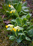 Primula veris. Common in the fields and lawns of Scandinavia stock photography