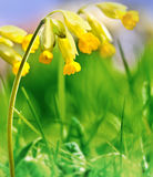 Primula veris Royalty Free Stock Photos