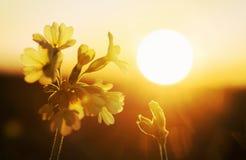 Primula veris blossom in golden evening sun Stock Photography