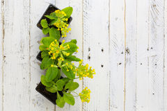 Primula Veris Common Cowslip Yellow Flowers on White Background Royalty Free Stock Image