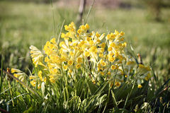 Primula veris (cowslip, common cowslip) in garden Royalty Free Stock Photos