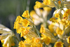 Primula veris (cowslip, common cowslip) in garden Stock Photo